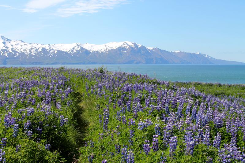 Mange steder på Island møder man blå lupiner. Det er en art, der hedder Alaska-Lupin. Den er indført til Island, bl.a. fordi man mener, at den er med til at forhindre erosion